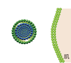 肌のリン脂質とその構造・組成物が同じリン脂質により作られたリポソーム構造体に、有効成分を閉じ込める